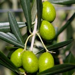 """Ca´ Rainene Olive Farm: Experience the """"Eccellenza"""""""